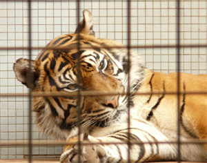 caged tiger 2020-12-21 172322.png