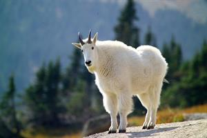 mountain-goat-3917628_960_720.jpg