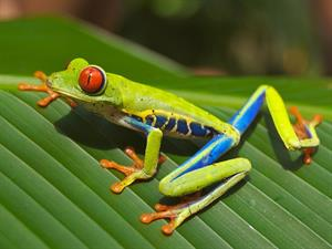 red-eyedfrog-643480_960_720.jpg