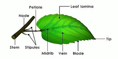 Different-Parts-of-Leaf.jpg