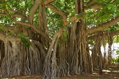 banyan-tree-1049021_1280.jpg
