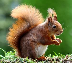 squirrel-493790_1920.jpg